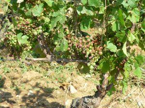 Vines in Savigny les Beaune